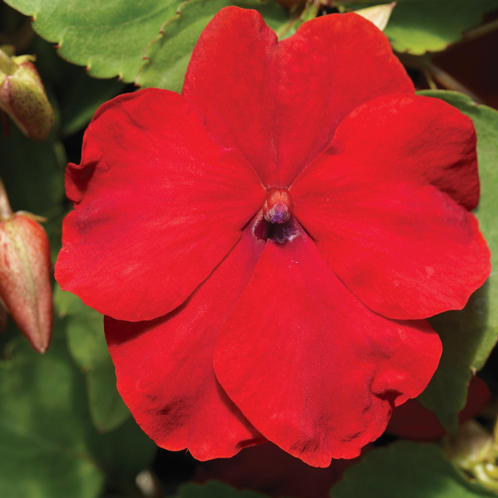 Impatiens Flower Garden Seeds - F1 Accent Series - Burgundy - 500 Seeds - Annual Flower Gardening Seeds