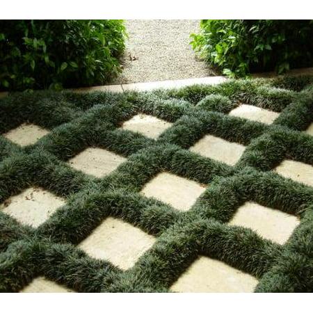 Classy Groundcovers - Dwarf Mondo Grass {50 Bare Root