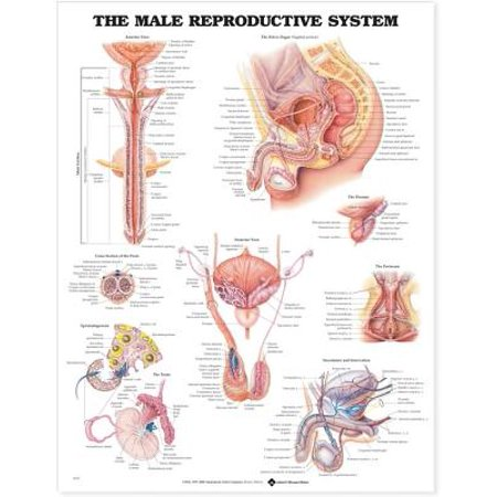 The the Male Reproductive System Anatomical - Male Reproductive System Anatomical Chart