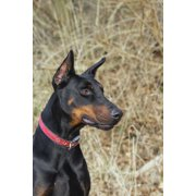 Black Doberman Dog Journal: 150 Page Lined Notebook/Diary (Paperback)