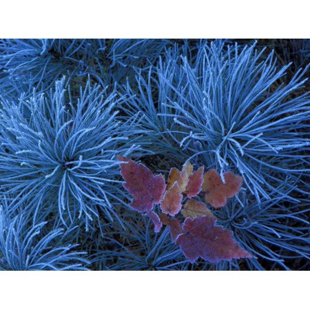 Frosty Maple Seedling in Pine Tree, Wetmore, Michigan, USA Print Wall Art By Claudia