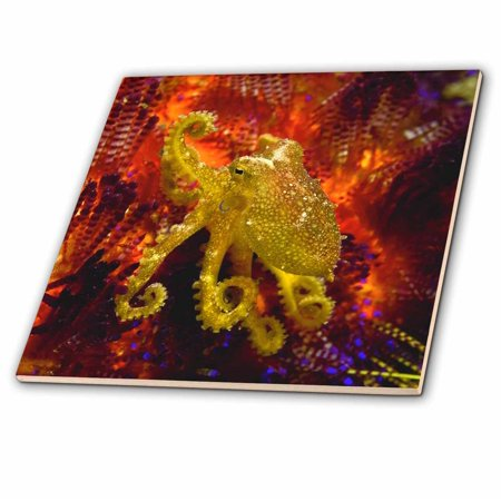 3dRose Indonesia, Pantar Island, Octopus, marine life-AS11 BJA0095 - Janyes Gallery - Ceramic Tile, 4-inch