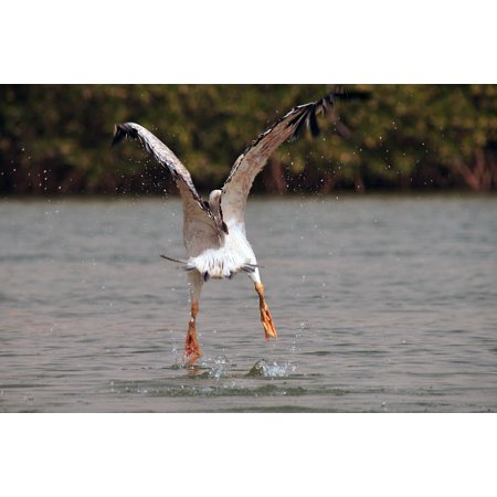 Canvas Print Take Off Nature Flight Bird Pelican River Animal Stretched Canvas 10 x 14
