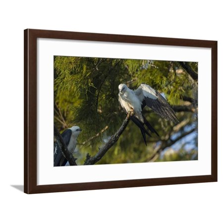 Swallow-Tailed Kite Preening at its Roost, Lake Woodruff NWR, Florida Framed Print Wall Art By Maresa Pryor ()