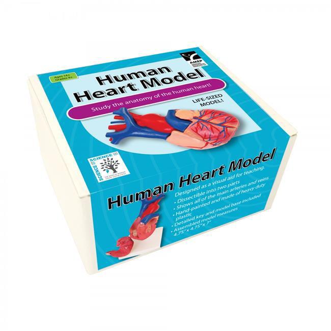 American Educational 7-1415-RT Human Heart Model