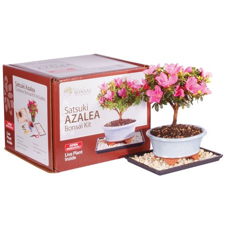 Brussel's Satsuki Azalea Bonsai Kit (Outdoor)