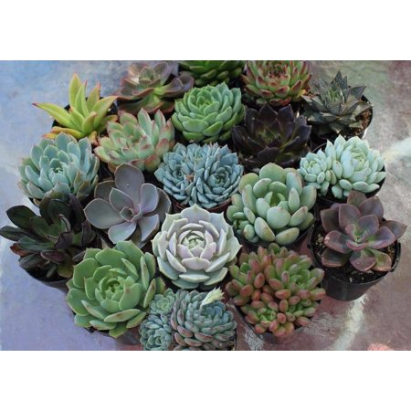 (10 Succulents) Succulent Wedding Favors by The Succulent Source - Succulents for all occasions - Rosette 2.5