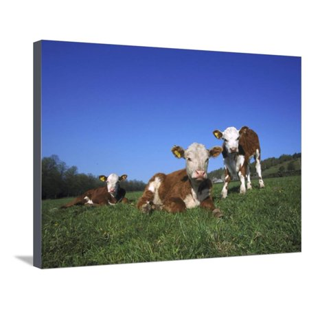 Hereford Cattle, Calves in Grass Meadow, UK Stretched Canvas Print Wall Art By Mark