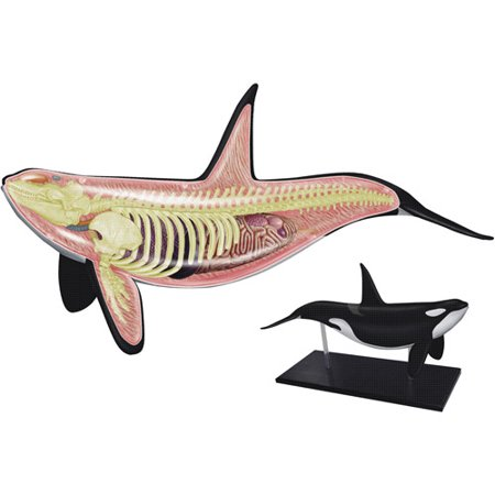 Orca Anatomy Model - Walmart.com