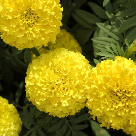 Pineapple Garden - African Marigold Flower Garden Seeds - Crush Series F1 - Pineapple Imp - 100 Seeds - Annual Flower Gardening Seeds - Tagetes erecta