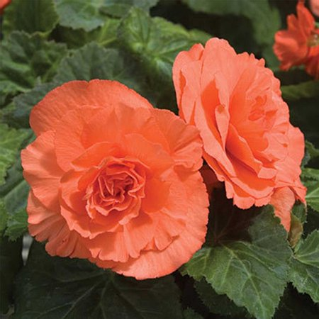 Tuberous Begonia Nonstop Series Plant Seeds (Pelleted): Deep Salmon - 100 Seeds - Annual Decorative Flower Plant, Houseplant, Begonia Flower Seeds -.., By Mountain Valley Seed Company Ship from
