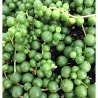 """String of Pearls - Senecio rowleyanus - Easy to Grow Succulent Plant - 2.5"""" Pot"""
