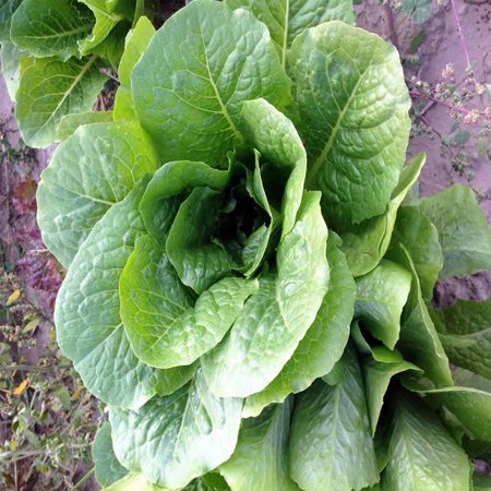 Lettuce Parris Island - Romaine Lettuce Seeds - Parris Island Cos Variety - 1 Oz - Heirloom Garden Seed - Non-GMO Lettuce and Microgreens Seed
