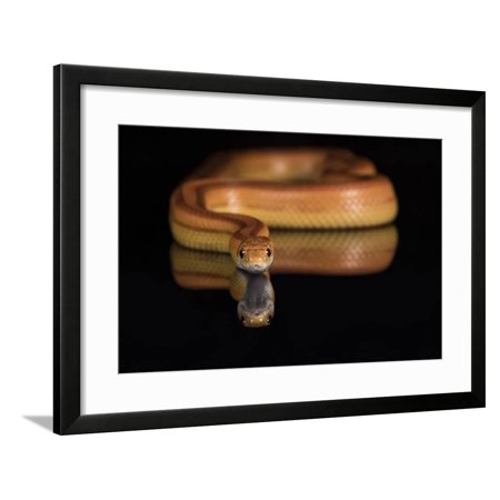 Corn Snake (Pantherophis Guttatus), captive, United States of America, North America Framed Print Wall Art By Janette Hill