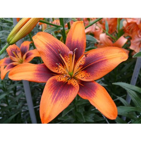 Euroblooms Lily Asiatic Twosome, 6 Flower Bulbs