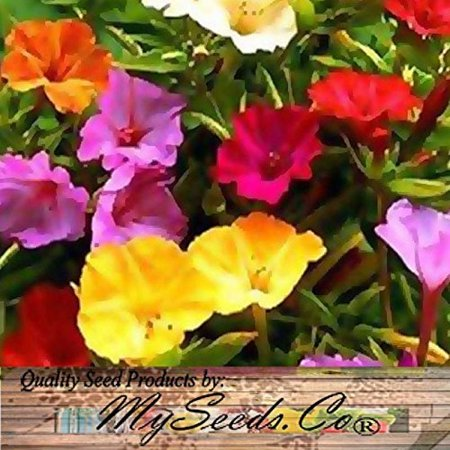 80 X 4 Oclock Mix Fragrant Mirabillis Jalapa Flower Seeds   Marvel Of Peru   By Myseeds Co