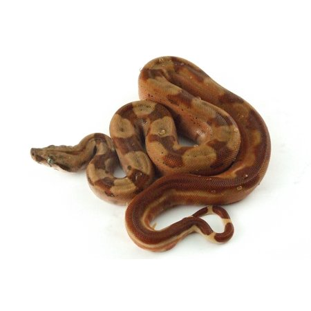 LAMINATED POSTER Hypo Snake Reptile Constrictor Exotic Boa Boid Poster Print 11 x 17