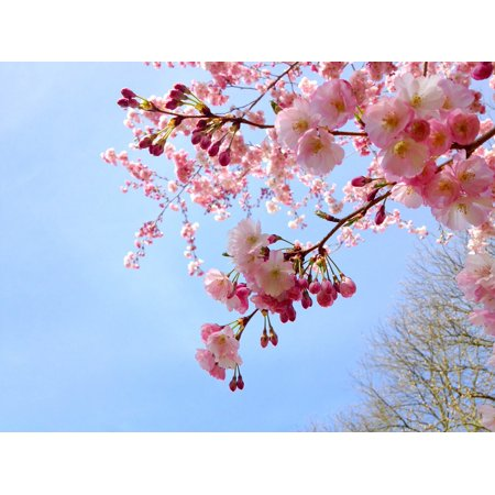 Canvas Print Season Sakura Pink Spring Japanese Cherry Tree Stretched Canvas 10 x 14 (Seasoned Cherry)
