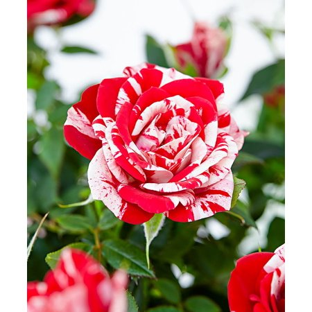 "Parade Gigi Miniature Rose Bush - Fragrant/Hardy - 4"" Pot"