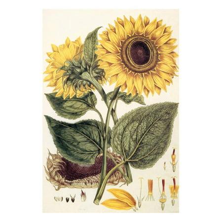 Sunflower Print Wall Art By John Miller ()