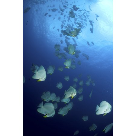 Large School Of Batfish Christmas Island Australia Poster Print