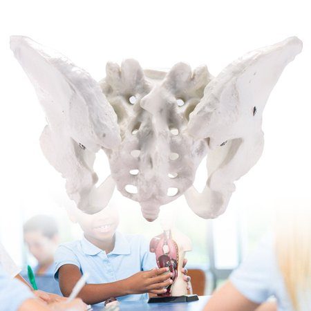 Life Size Human Female Pelvis Pelvic Anatomical Model Skeleton Education