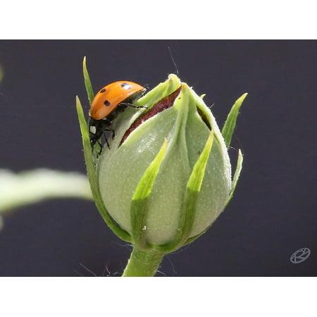 Canvas Print Spring Bloom Blossom Ladybug Green Bud Plant Stretched Canvas 10 x 14