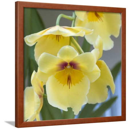 Yellow Orchid Blooms Framed Print Wall Art By Anna Miller