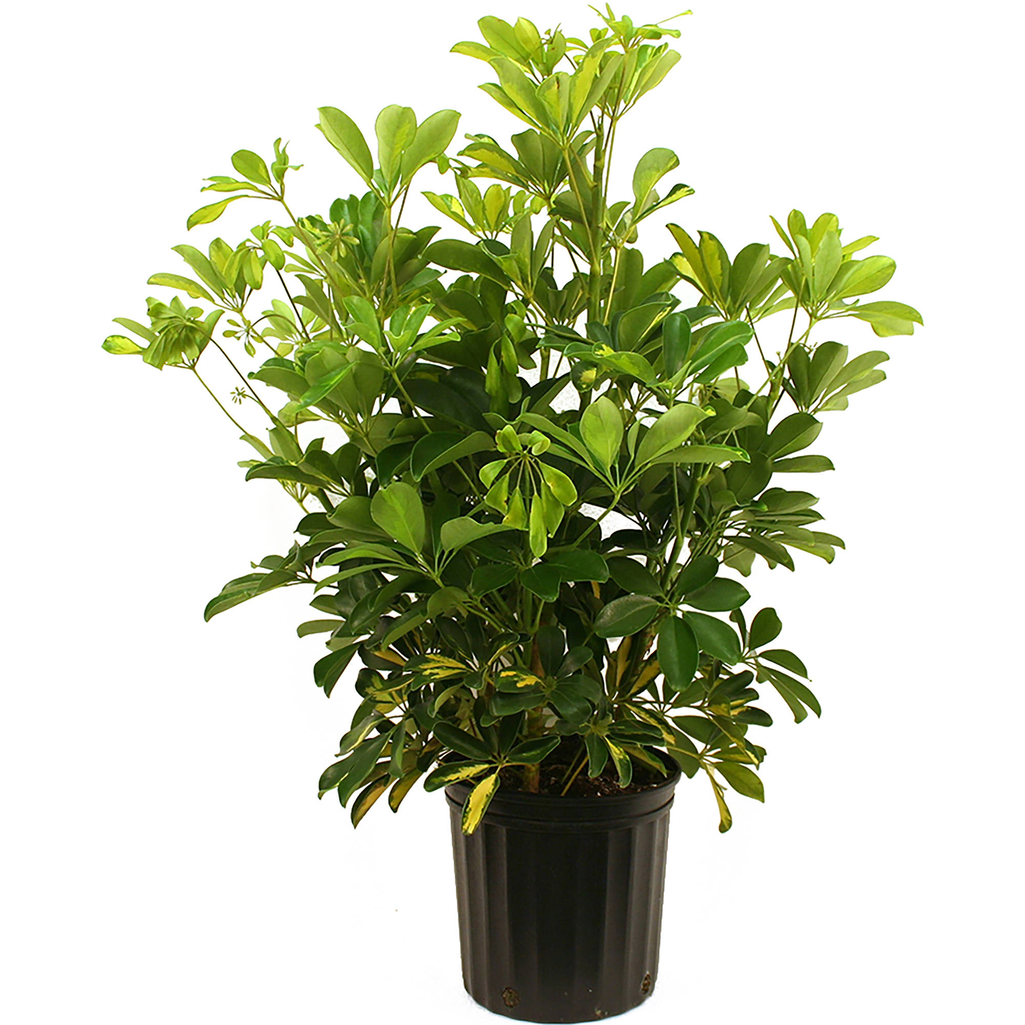 Delray Plants Schefflera Arboricola Gold Capella Easy To Grow Live