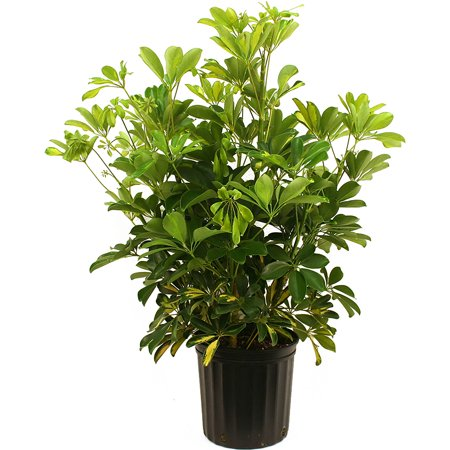 delray plants schefflera arboricola gold capella easy to grow live house plant 10 inch grower. Black Bedroom Furniture Sets. Home Design Ideas