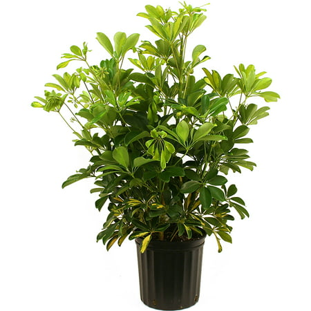 Image of Delray Plants Schefflera Arboricola Gold Capella Easy to Grow Live House Plant, 10-inch Grower Pot