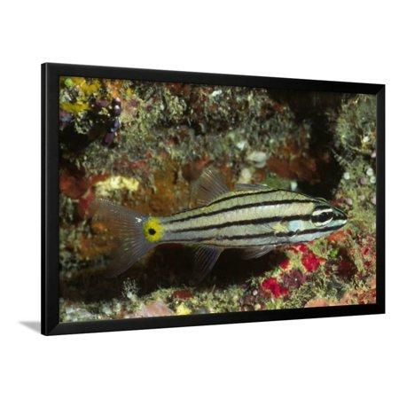 - Split-Banded Cardinalfish in Juvenile Form Framed Print Wall Art By Hal Beral