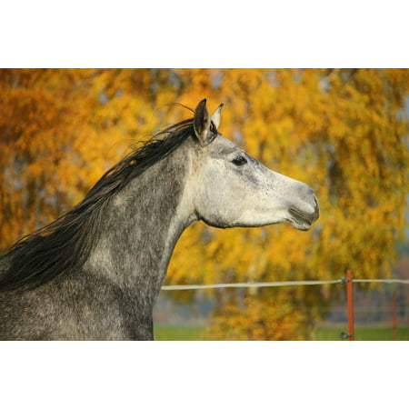 Canvas Print Thoroughbred Arabian Horse Mold Horse Head Autumn Stretched Canvas 10 x 14