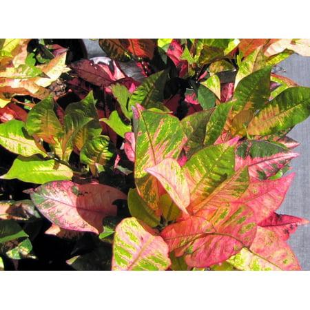 Mrs  Icetone Croton   6  Pot   Easy To Grow House Plant