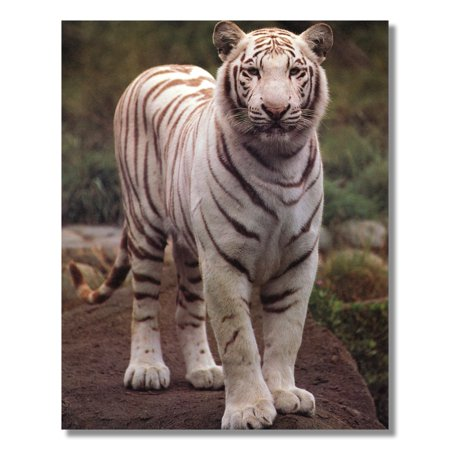 White Tiger Standing on Sandy Rock Photo Wall Picture 8x10 Art -
