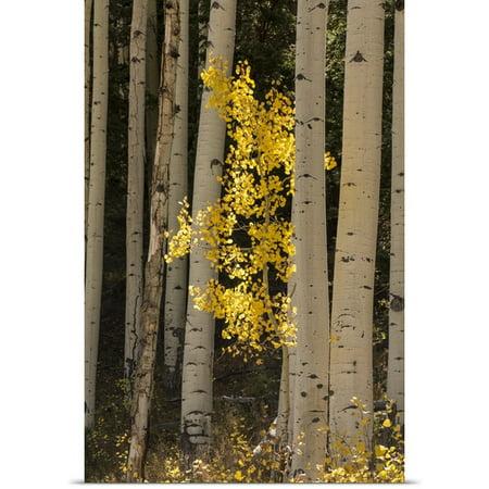 Great Big Canvas Scott Stulberg Poster Print Entitled Lone Yellow Aspen Tree In The Forest Of Flagstaff  Arizona