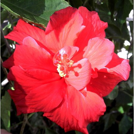 Canvas Print Hibiscus Double Bloom Blooming Red Hibiscus Blossom