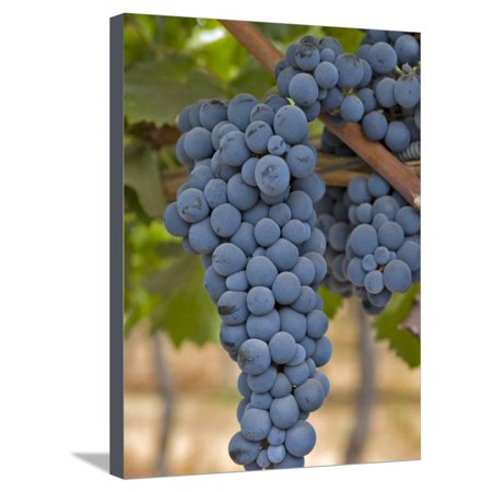 Close Up of Cabernet Sauvignon Grapes, Haras De Pirque Winery, Pirque, Maipo Valley, Chile Stretched Canvas Print Wall Art By Janis Miglavs