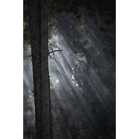 Smoky sunlight filtering through the trees in a forest Yellowstone National Park Wyoming United States of America Canvas Art - Nick Dale  Design Pics (12 x