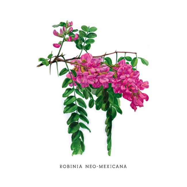 Buy Enlarge 0-587-03676-1P12x18 Robinia Neo-Mexicana- Paper Size P12x18