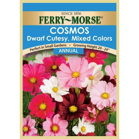 Annual seed Cosmos-DwarfCutesyMix