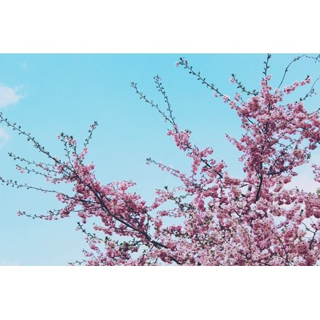 Cherry Tree Leaves - Canvas Print Leaves Tree Cherry Flowers Spring Cherry Blossom Stretched Canvas 10 X 14
