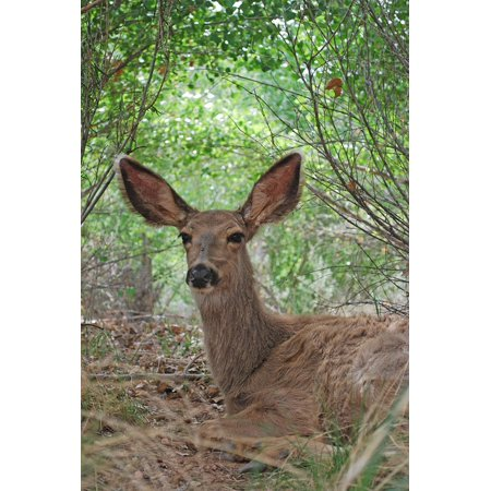 Canvas Print Nature Doe Wildlife Resting Ground Mule Deer Stretched Canvas 10 x 14