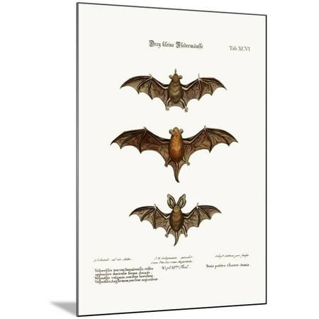 Three Small Bats 1749 73 Wood Mounted Print Wall Art By George Edwards
