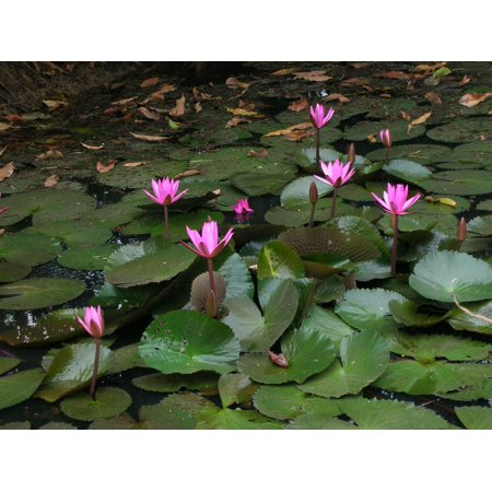 LAMINATED POSTER Lily Pads Cambodia Lotus Pond Serenity Peaceful Poster Print 24 x 36 (Peaceful Pond)