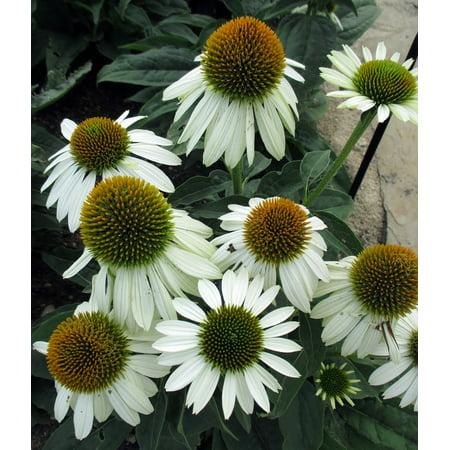 Blanco Nickel Pot (Hot Blanco  Sombrero™ Coneflower Perennial - Echinacea - Gallon Pot )