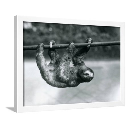 A Three-Toed Sloth Slowly Makes its Way Along a Pole at London Zoo, C 1913  Framed Print Wall Art By Frederick William Bond