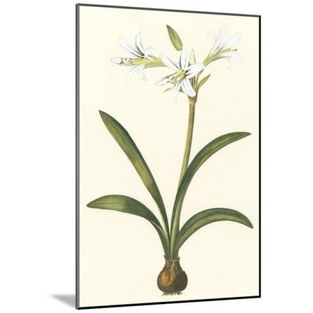 Belladonna Two Light - Belladonna Lilies II Wood Mounted Print Wall Art