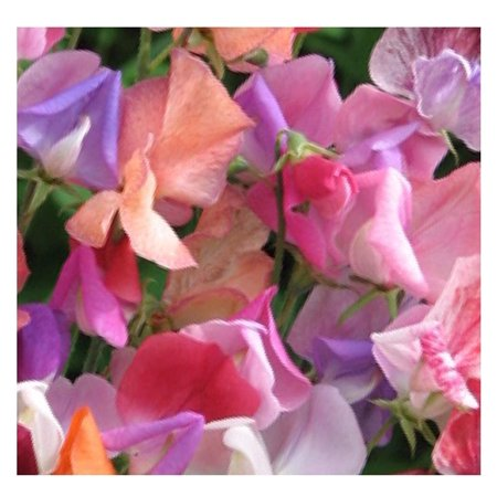 Annual Bermuda Mix Sweet Pea Seeds 150 + 1 Plant Marker