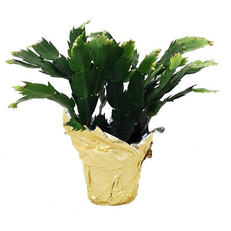 hirts yellow christmas cactus plant zygocactus 4 decorative pot cover - Christmas Catus